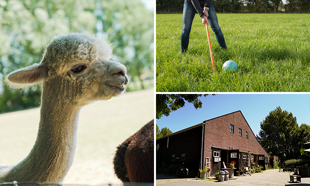 Alpaca-golf + meet & feed + drankje
